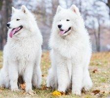 Породы собак с описанием и фото. - Страница 2 1485024067_samoyed-dog-photo-9