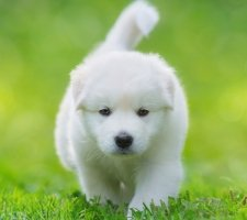 Породы собак с описанием и фото. - Страница 2 1485024070_samoyed-dog-photo-8
