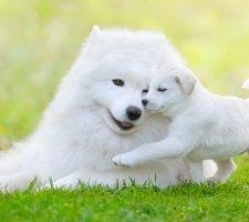 Породы собак с описанием и фото. - Страница 2 1485024078_samoyed-dog-photo-1