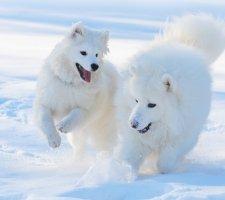 Породы собак с описанием и фото. - Страница 2 1485024097_samoyed-dog-photo-5