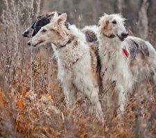 Породы собак с описанием и фото. - Страница 2 1485029214_russian-borzoi-dog-photo-3