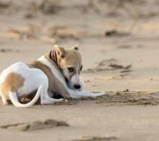 Породы собак с описанием и фото. - Страница 2 1485081057_whippet-dog-photo-8