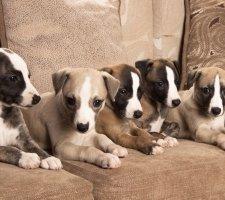 Породы собак с описанием и фото. - Страница 2 1485081071_whippet-dog-photo-2