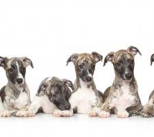Породы собак с описанием и фото. - Страница 2 1485081078_whippet-dog-photo-5