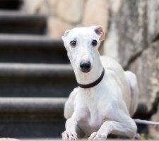 Породы собак с описанием и фото. - Страница 2 1485081091_whippet-dog-photo-9