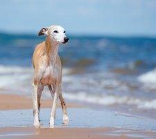 Породы собак с описанием и фото. - Страница 2 1485081095_whippet-dog-photo-4
