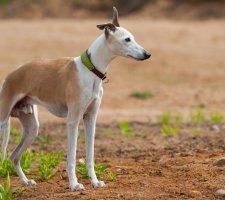 Породы собак с описанием и фото. - Страница 2 1485081101_whippet-dog-photo-1