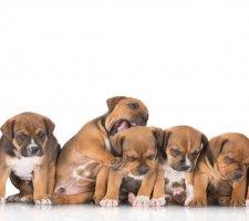 Породы собак с описанием и фото. - Страница 2 1485087913_staffordshire-bull-terrier-dog-photo-2