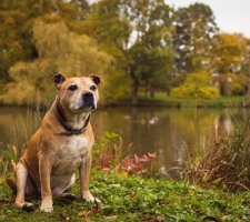 Породы собак с описанием и фото. - Страница 2 1485087919_staffordshire-bull-terrier-dog-photo-4