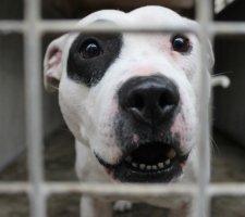 Породы собак с описанием и фото. - Страница 2 1485087944_staffordshire-bull-terrier-dog-photo-9