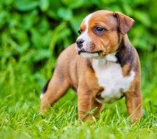 Породы собак с описанием и фото. - Страница 2 1485087959_staffordshire-bull-terrier-dog-photo-8