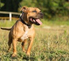 Породы собак с описанием и фото. - Страница 2 1485087961_staffordshire-bull-terrier-dog-photo-1