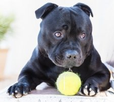 Породы собак с описанием и фото. - Страница 2 1485087963_staffordshire-bull-terrier-dog-photo-7