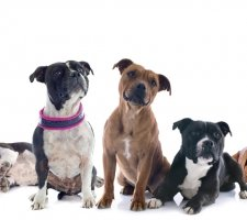 Породы собак с описанием и фото. - Страница 2 1485088002_staffordshire-bull-terrier-dog-photo-5