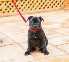 Породы собак с описанием и фото. - Страница 2 1485088006_staffordshire-bull-terrier-dog-photo-6