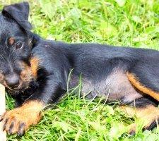 Породы собак с описанием и фото. - Страница 2 1493060688_german-jagdterrier-photo-2