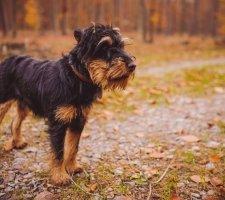 Породы собак с описанием и фото. - Страница 2 1493060712_german-jagdterrier-photo-7