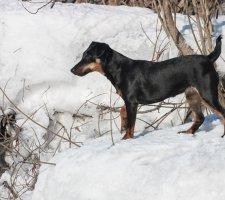 Породы собак с описанием и фото. - Страница 2 1493060733_german-jagdterrier-photo-3