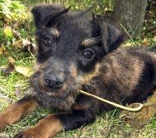 Породы собак с описанием и фото. - Страница 2 1493060748_german-jagdterrier-photo-6