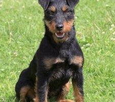 Породы собак с описанием и фото. - Страница 2 1493060781_german-jagdterrier-photo-8