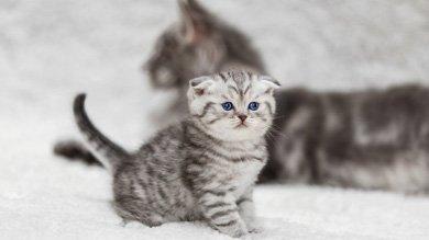 Бывает ли ложная беременность у кошек